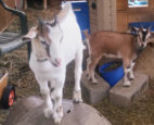 Visiting goats on a farm to help with social isolation