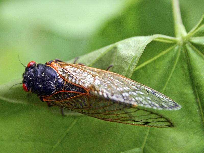 17 year cicadas